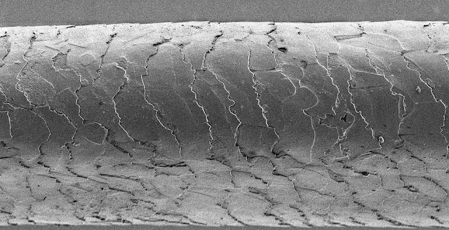 Human hair under a microscope, you can see the tiny shingle-like structures